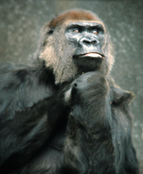 Gorilla-Thinking.jpg