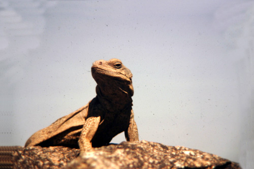 Iguana-2.jpg