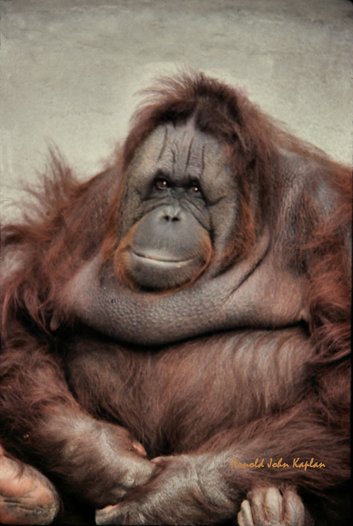Orangutang--4.jpg
