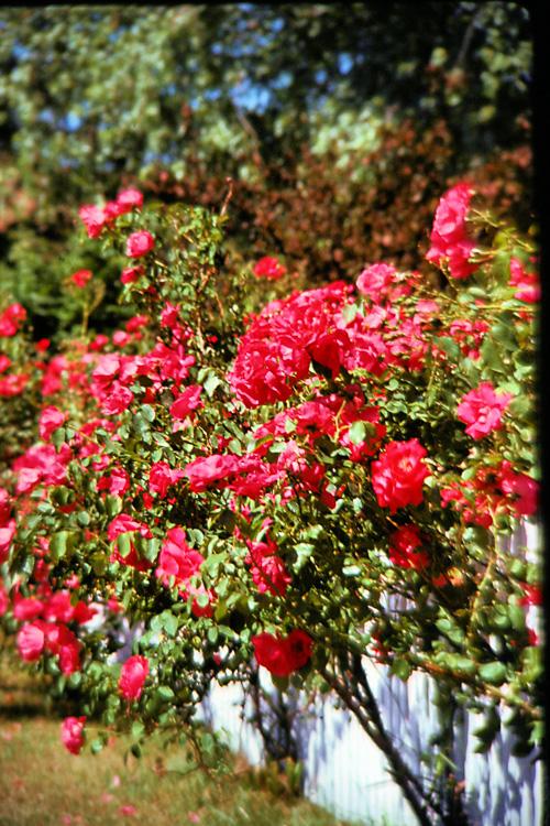 -Rose-On-Fence.jpg