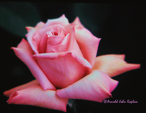 Pink-Rose--2.jpg