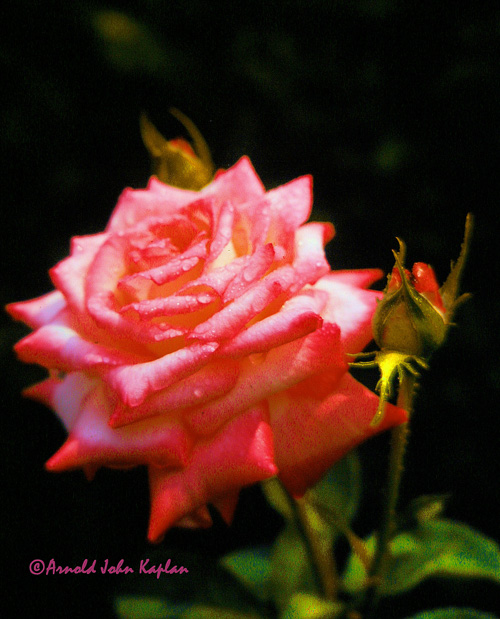 Pink-Rose-wth-Two-Buds.jpg