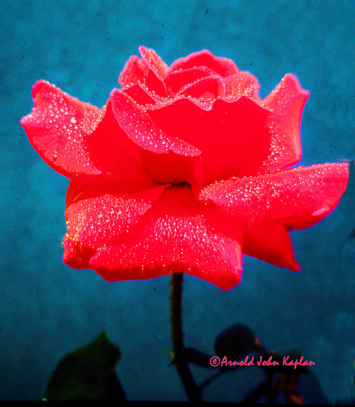 Red-Rose--1.jpg