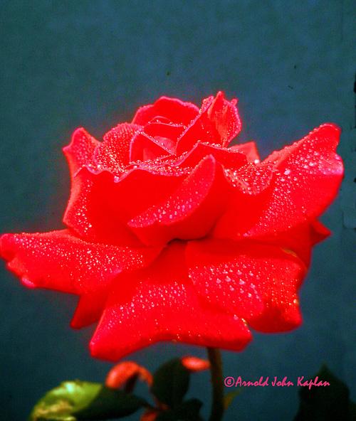 Red-Rose--3.jpg
