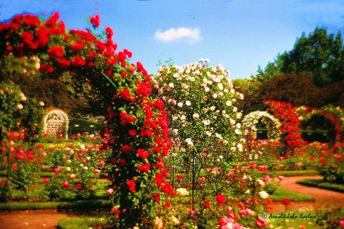 Rose-Garden-Boston.jpg