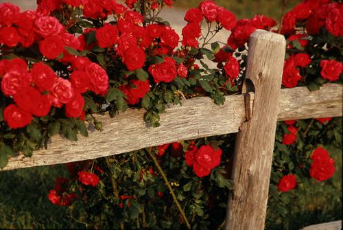 Roses-On-Fence--2.jpg