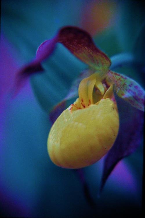 Yellow-Orchid-Slipper.jpg