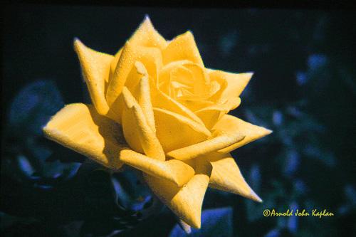 Yellow-Rose--1.jpg
