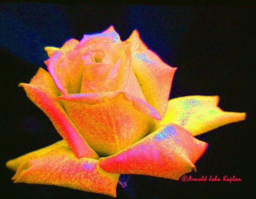 Yellow-Rose-Dev.jpg